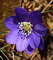 Flickr - Per Ola Wiberg ~ mostly away - blåsippa ~ bluesipps, wild flowers.jpg