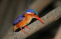 Flickr - Rainbirder - Malachite Kingfisher (Alcedo cristata).jpg