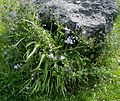 Flickr - brewbooks - Miners Lettuce and Hyacinth on Serpentine.jpg