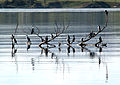 Flock of Little Pied Cormorants.jpg