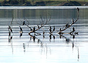 Little Pied Cormorants on the Derwent River
