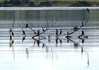 River Derwent (Tasmania) - Little pied cormorants on the River Derwent