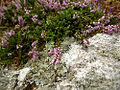 Flora of Lundy (3).jpg