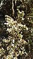 Flores de koa.jpg