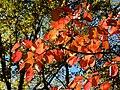 Flowering Dogwood (30873511365).jpg