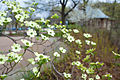 Flowering dogwood (25134217284).jpg