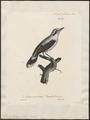 Fluvicola climazura - 1825-1834 - Print - Iconographia Zoologica - Special Collections University of Amsterdam - UBA01 IZ16500217.tif
