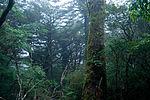 Forest in Yakushima 44.jpg