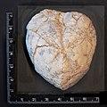 Fossil Echinoidea (Seeigel), Rethen (Vordorf), Germany.jpg
