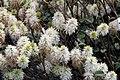 Fothergilla gardenii Mt. Airy 10zz.jpg