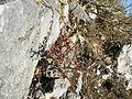 Fouquieria fasciculata (5777312020).jpg