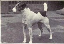 Smooth Fox Terrier - Wikipedia