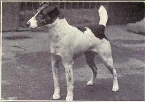 Smooth Fox Terrier - Smooth Fox Terrier circa 1915