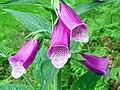 Foxglove (Digitalis purpurea), Northchurch Common (27766855463).jpg
