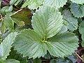 Fragaria leaf.JPG