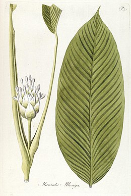 Fragmenta botanica, figuris coloratis illustrata (T. 71) (7943736844).jpg