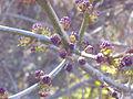 Fraxinus angustifolia BotonesFlorales 2012-1-29 SierraMadrona.jpg