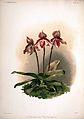Frederick Sander - Reichenbachia II plate 65 (1890) - Cypripedium tautzianum.jpg