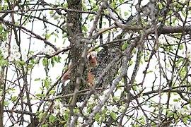 Freilebendes Eichhörnchen im Landschaftsschutzgebiet in Frickenhausen.jpg