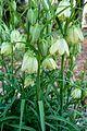 Fritillaria verticillata - Flickr - odako1 (1).jpg