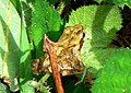 Frog in Bovey Valley - geograph.org.uk - 923623.jpg