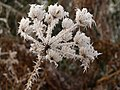 Frost on umbellifer (2) - geograph.org.uk - 1116007.jpg