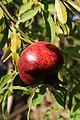Fruit trees עצי פרי (36).JPG