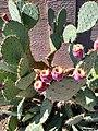 Fruiting Prickly Pear.jpg