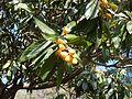 Fruta de níspero japonés (Eriobotrya japonica).jpg