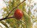Fruto Elaeagnus angustifolia (14996074213).jpg