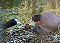 Fulica atra - Blässhuhn - Eurasian Coot - Family2.jpg