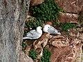 Fulmars resting on a Berry Head Cliff.jpg