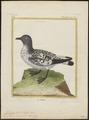Fulmarus capensis - 1700-1880 - Print - Iconographia Zoologica - Special Collections University of Amsterdam - UBA01 IZ17900108.tif
