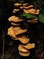Fungi IMG 4927^.jpg