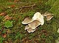 Fungus, Clandeboye Wood (11) - geograph.org.uk - 967791.jpg