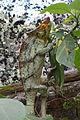 Furcifer pardalis, Peyrieras reptile reserve 02.JPG