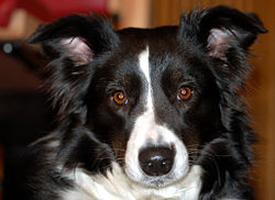 Głowa border collie.jpg