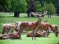 GOC Woburn 065 Red Deer (Cervus elaphus), Woburn Deer Park (23177068896).jpg