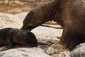 Galápagos sea lions (4201777643).jpg
