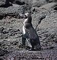 Galapagos Penguin (40810727033).jpg