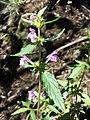 Galeopsis ladanum s. str. sl20.jpg
