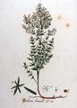 Galium boreale — Flora Batava — Volume v9.jpg