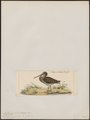 Gallinago japonica - 1820-1860 - Print - Iconographia Zoologica - Special Collections University of Amsterdam - UBA01 IZ17400319.tif