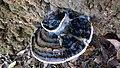 Ganoderma P. Karst 730317.jpg