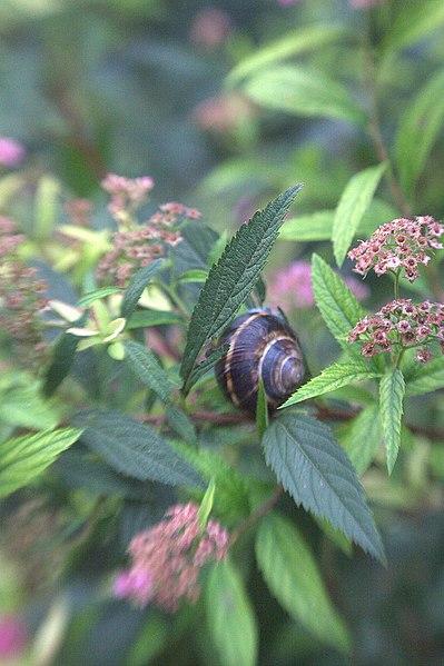 File:Garden snail in a Garden.jpg