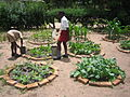 Garden trials using urine on treated green vegetables (5568154546).jpg