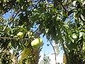 Gardenology.org-IMG 1990 hunt0903.jpg