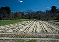 Garlic in the Spring (6908829406).jpg