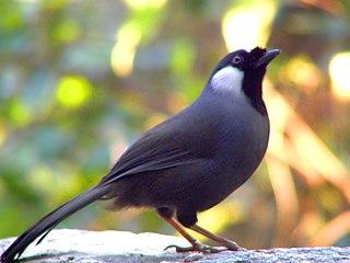 Black-throated laughingthrush species of bird