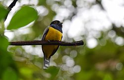 Gartered Trogon (25130384425).jpg